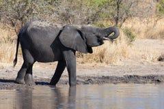 Éléphant buvant et éclaboussant l'eau le jour sec et chaud Photos stock