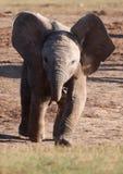 Éléphant courant de bébé Photographie stock libre de droits