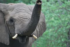 Éléphant curieux image stock