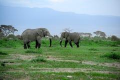 Éléphant d'Afrique Images stock