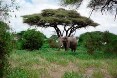 Éléphant d'Afrique Images libres de droits