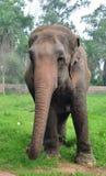 Éléphant d'Asie Photo libre de droits