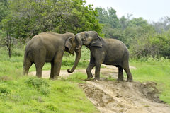 Éléphant d'Asie Images libres de droits