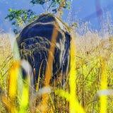 Éléphant d'Asie caché dans le buisson - Jim Corbett National Park, Inde photographie stock libre de droits