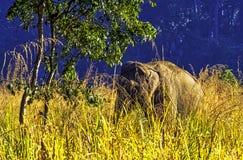 Éléphant d'Asie caché dans le buisson - Jim Corbett National Park, Inde images libres de droits