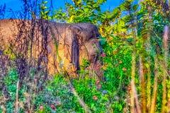 Éléphant d'Asie caché dans le buisson - Jim Corbett National Park, Inde photo stock