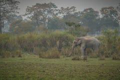 Éléphant d'Asie gentil dans l'habitat de nature du parc national de Kaziranga images libres de droits