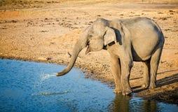 Éléphant d'Asie injectant l'eau du tronc Photo stock