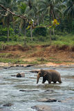 Éléphant d'Asie sur la rivière Image libre de droits