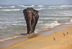 Éléphant d'Asie sur le rivage d'océan photo libre de droits
