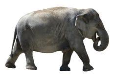 Éléphant d'isolement. Images libres de droits