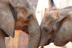 Éléphant dans l'amour Photographie stock