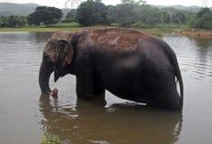Éléphant dans l'eau Images libres de droits