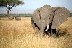 Éléphant dans l'herbe Images libres de droits