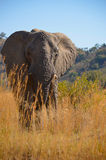 Éléphant dans l'herbe photo stock
