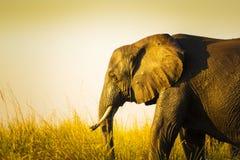 Éléphant dans la longue herbe Photos libres de droits