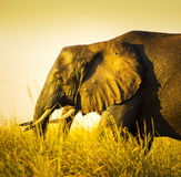 Éléphant dans la longue herbe Images libres de droits