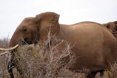Éléphant dans le buisson Photos libres de droits
