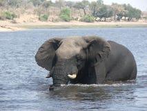 Éléphant dans le fleuve de chobe Photos stock