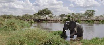 Éléphant dans le fleuve en stationnement national de Serengeti photos libres de droits