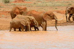 Éléphant dans le lac Parc national du Kenya Photos stock