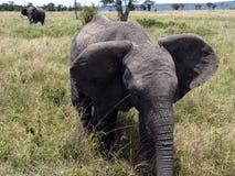 Éléphant dans le masai Mara Photo stock