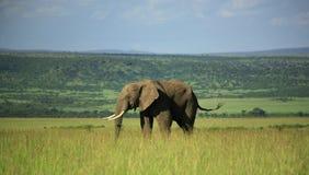 Éléphant dans le masai Mara Photographie stock libre de droits