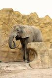 Éléphant dans le safari Photos stock
