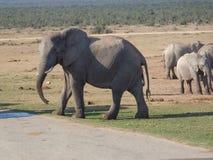 Éléphant dans le safaripark Afrique du Sud tout en regardant in camera Image libre de droits