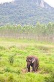 Éléphant dans le sauvage, Thaïlande Images stock