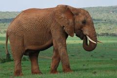 Éléphant dans le terrain découvert Images libres de droits