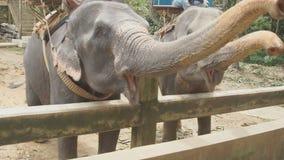 Éléphant de alimentation de touristes femelle avec la banane clips vidéos