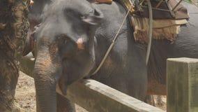 Éléphant de alimentation de touristes femelle avec la banane banque de vidéos
