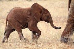 Éléphant de bébé Photos stock