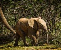 Éléphant de bébé Photo libre de droits
