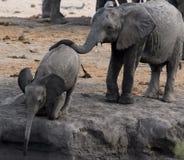 Éléphant de bébé, africana de loxodonta, buvant du trou d'eau et photographie stock