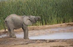 Éléphant de bébé au trou d'eau Images stock