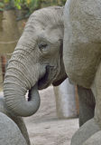 Éléphant de bébé au zoo Image stock