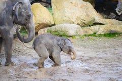 Éléphant de bébé avec sa mère dans la boue Photos libres de droits