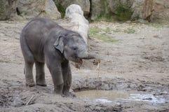 Éléphant de bébé buvant du magma Photographie stock libre de droits