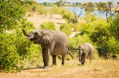 Éléphant de bébé en Afrique image stock