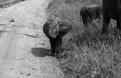 Éléphant de bébé en noir et blanc images libres de droits