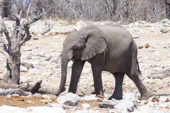 Éléphant de bébé en parc Namibie d'Etosha Images stock