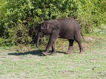 Éléphant de bébé marchant au buisson vert Image libre de droits