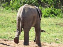 Éléphant de bébé marchant loin Image libre de droits