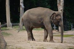 Éléphant de bébé (maximus d'Elephas) Photo stock