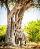 Éléphant de bébé se cachant sous l'arbre images libres de droits