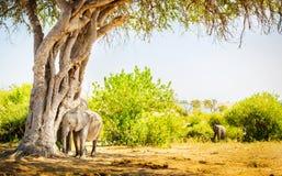 Éléphant de bébé se cachant sous l'arbre photos stock