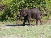 Éléphant de bébé se tenant au buisson vert Photo stock