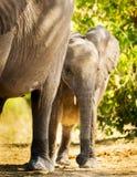 Éléphant de bébé se tenant avec la mère photographie stock